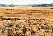 Big Hole Valley, cattle, SW Montana, Bitterroot Range