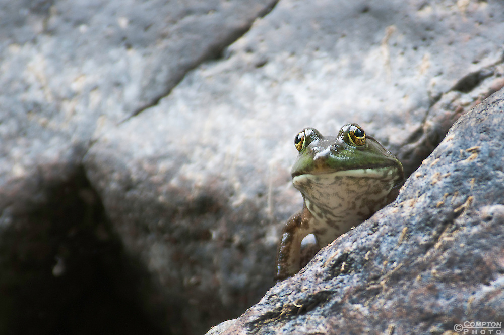 Bullfrog thinking it's hidden amongst some rocks.
