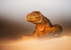 Galapagos land iguana (Conolophus subcristatus) endemic to the Galapagos islands, Ecuador