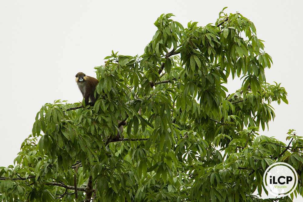 Mustached Guenon (Cercopithecus cephus) in tree, Lope National Park, Gabon