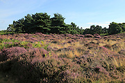 Heather plants, Calluna vulgaris, purple flowers, heathland vegetation, Sutton Heath, Suffolk Sandlings, near Shottisham, England, UK