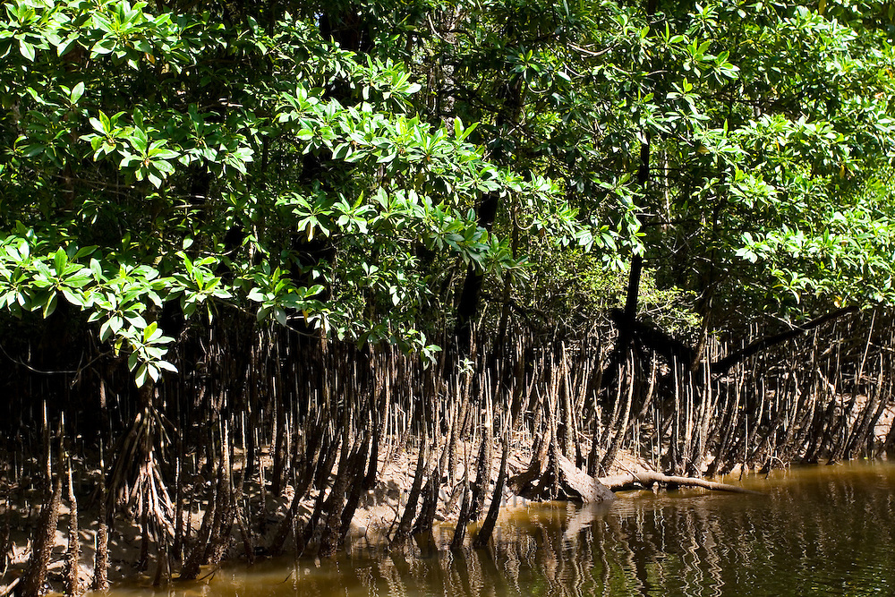 Mangrove roots  in shallows of Mossman River, Daintree, Australia