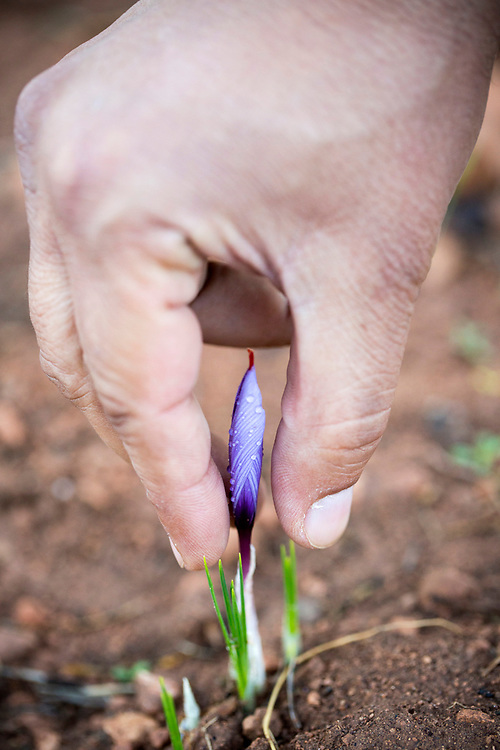 TALIOUINE, MOROCCO - October 25th 2015 - Farmer harvests crocus sativus flowers at saffron farm in Taliouine, Sirwa Mountain Range, Souss Massa Draa region of Southern Morocco
