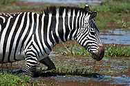 Common zebra (Equus quagga), Amboseli National Park, Kenya.