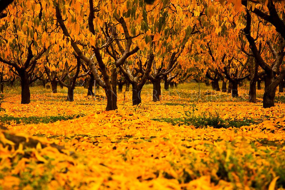 Napa Valley peach orchard in Fall. Saint Helena, California