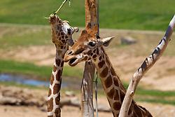 Two reticulated giraffes (Giraffa camelopardalis) eat from a tree, San Diego Zoo Safari Park, Escondido, California, United States of America
