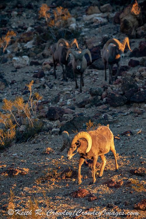 Endangered desert bighorn rams in Arizona and Nevada