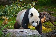 Panda Mom