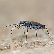 Calomera f. funerea tiger beetle.
