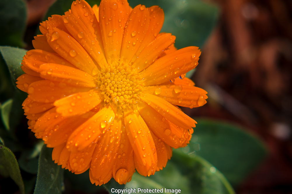 Rain drops on the petals of an orange Gerbera Daisy after a summer rain shower