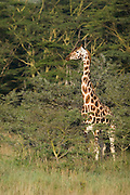 Giraffe standing among trees, Lake Nakuru National Park, Kenya.