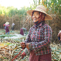 Female farm workers in Myanmar harvest sugar cane by hand.