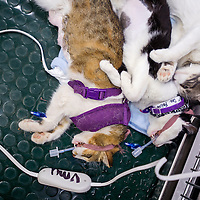 060413       Cable Hoover<br /> <br /> Three cats lay together as they recover from their spay and neutering surgery at the Navajo Nation Veterinary Mobile Unit in Shiprock Tuesday.