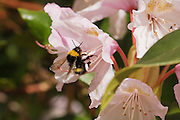 Early Bumble bee taking off from a flower.