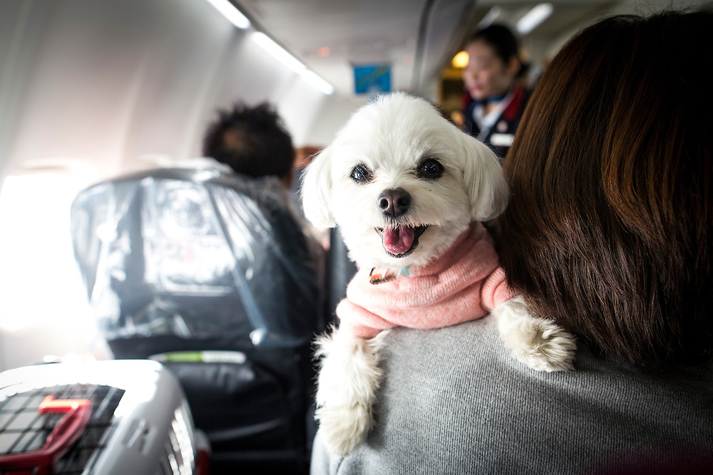 "CHIBA, JAPAN - JANUARY 27 : A dog is seen on the shoulder of its owner in a plane in Chiba, Japan on January 27, 2017. Japan Airlines ""wan wan jet tour"" allows owners and their dogs to travel together on a charter flight for a special three-day domestic tour to Kagoshima Prefecture, southwestern Japan. As part of the package tour, the owners and their dogs will also get to stay together in a hotel and go sightseeing in rented cars.  (Photo by Richard Atrero de Guzman/ANADOLU Agency)"