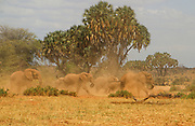 A herd of elephants raising dust. Photographed in the wild in Kenya