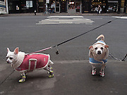 Two small dogs on leashes are wearing coats and boots to protect themselves against the cold of Winter.