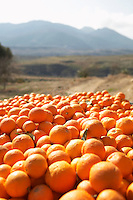 Pile of oranges in field