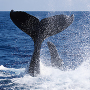 Humpback whale (Megaptera novaeangliae) playing on the ocean surface in an unusual position. The whale is flipped over on its back, raising its fluke high into the air and slapping the surface repeatedly with the dorsal surface of its posterior. The whale is using its pectoral fins to maintain balance while engaging in acrobatics.