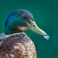 Mallard drake sporting breeding plumage in spring, holding feather in green beak after bathing and preening.