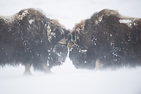 Two large bull Musk Oxen, Ovibos moschatus, showing off during a blizzard across Dovrefjell NP, Norway.