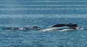 Humpback whales in the Salish Sea near Port Angeles, WA and Victoria BC, July 2018