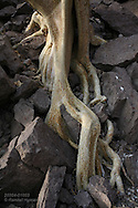 Tenacious tree root clings to rocky slope on Isla Carmen, Sea of Cortez, Baja, Mexico.