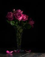 Roses in the daylight studio, Brechin