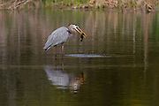 A blue heron catches a yellow catfish at woody pond. Harris Neck National Wildlife Refuge. Georgia