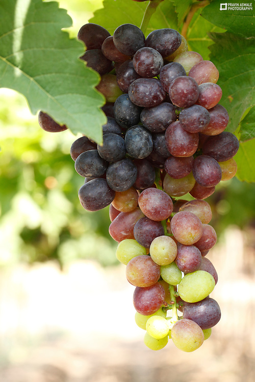 Red Grapes Bunch about to ripe!