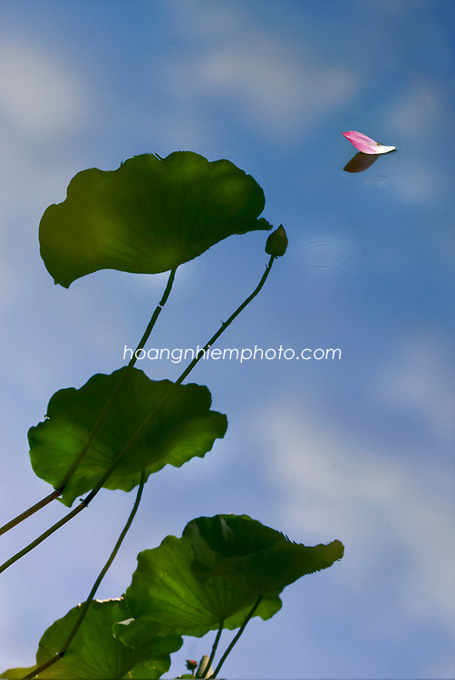 Vietnam Images-Nature-Flower-Lotus-Hoa sen -Hoàng thế Nhiệm