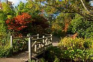Crimson foliage on an acer tree near a wooden bridge at RHS Wisley Garden, Woking, Surrey, UK