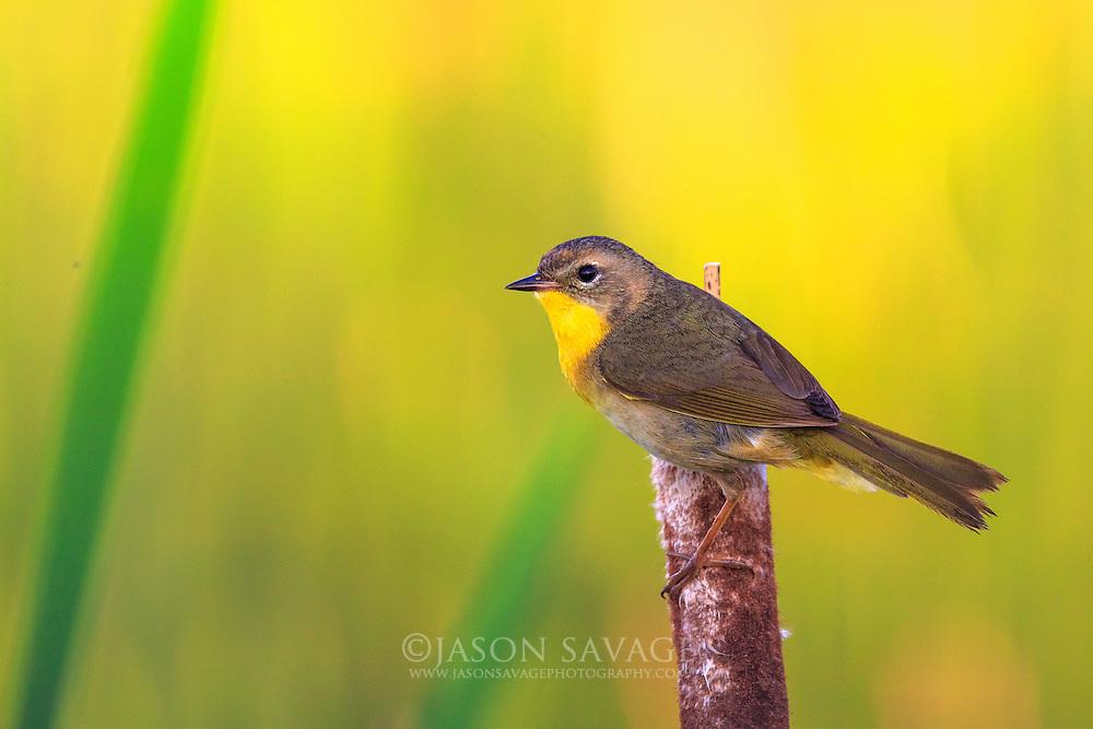 Common Yellowthroat, Montana