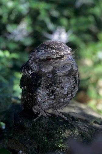Tawny Frogmouth, (Podargus strigoides) Australia.