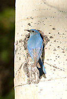Male Mountain Bluebird helps with the cleaning of its nesting cavity the female is inside the cavity.