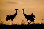 Eurasian Cranes (Grus grus) from Lake Hornborga, Sweden.