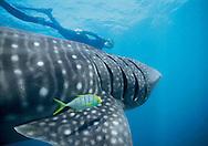 Whale Shark (Rhincodon typus) with juvenile Golden Trevally (Gnathanodon speciosus) above pectoral fin.