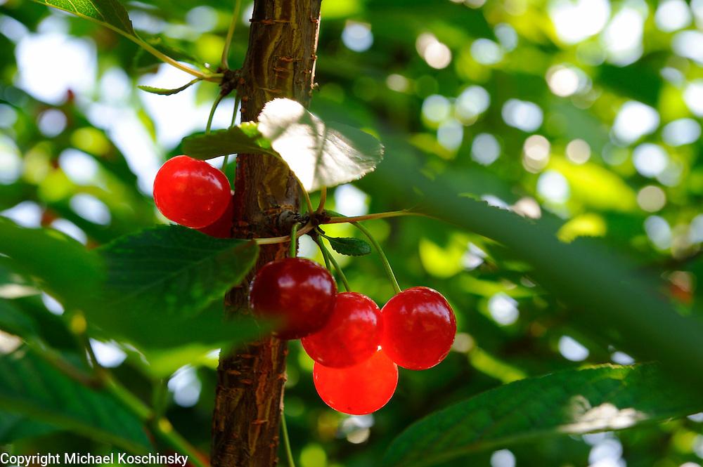Weichsel cherries at the fruitfarm Eichenberger, Uhwiesen, Switzerland