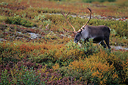 Caribou grazing in tundra in fall - Alaska.