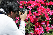 person making photos of red roses in bloom