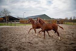 Van Gisbergen Isabel, Van Gisbergen Wil, Toto Jr veulens<br /> Fokkerij Isabel en Wil van Gisbergen<br /> © Hippo Foto - Dirk Caremans<br /> 20/11/2018