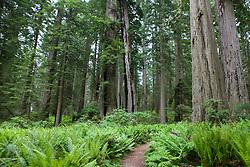 Ferns grow on the forest floor amongst Redwood trees, Lady Bird Johnson Grove, Redwood National Park, California, USA.