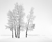 Seven Birches Covered in Hoarfrost