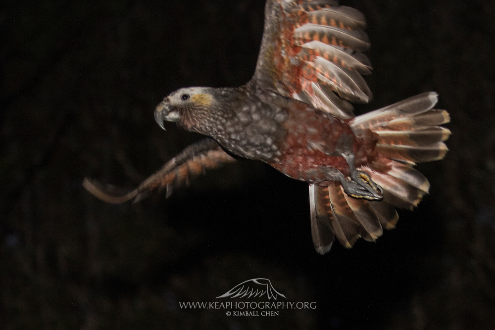 Kaka parrot in flight at night, Stewart Island