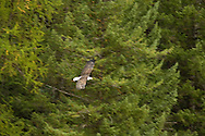 Bald Eagle (haliaeetus leucocephalus) soars through forest, Glacier National Park, Montana