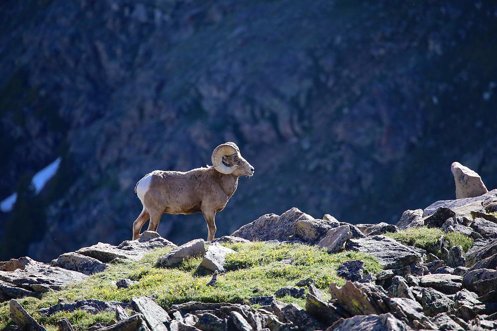 Rocky Mountain Big Horn Sheep on a ride in Rocky Mountain National Park, Colorado