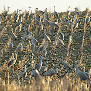 Sandhill cranes feed in an old corn field as they gather at a roosting location along their winter migration route in Cecilia, Ky., on Thursday, February 2, 2012.  According to counts made by biologists with the Kentucky Fish and Wildlife Resources, about 6,900 of the birds stopped in Cecilia on Tuesday night during their winter northward migration on their way to their nesting grounds in the Great Lakes Region. These birds, which are part of the Eastern population of sandhill cranes, are part of a group estimated to be larger than 70,000 birds, many of which were wintering in Florida. The migration in Kentucky is expected to be peaking at this time based on historical data gathered by wildlife biologists with the Kentucky Department of Fish and Wildlife Resources. For the first time in nearly a century, Kentucky just completed a hunting season on sandhill cranes. The season, which ran from Dec. 17, 2011, to Jan. 15, 2012, resulted in a harvest of 50 birds. The hunting season was scheduled to fall between the southward and northward migrations in order to maximize the viewing potential of the birds but still allow for hunting opportunity. Photo by David Stephenson