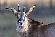 Roan Antelope, Mlilwane Game Reserve, Big Game Parks, Swaziland
