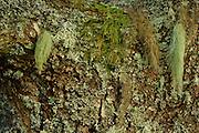 Lichens (Usnea filipendula, Evernia prunasti, Bryoria fuscescens, Hypogymnia physodes and Parmelia sulcata) on English oak tree (Quercus robur) near Norra Kvill National Park, Smaland, Sweden, August. |Eichenrinde wird von Flechten und Moosen bewachsen. Sie bilden die Grundlage für einen interessanten Lebensraum für viele Insekten.