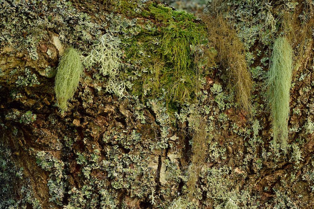 Eichenrinde wird von Flechten und Moosen bewachsen. Sie bilden die Grundlage für einen interessanten Lebensraum für viele Insekten.